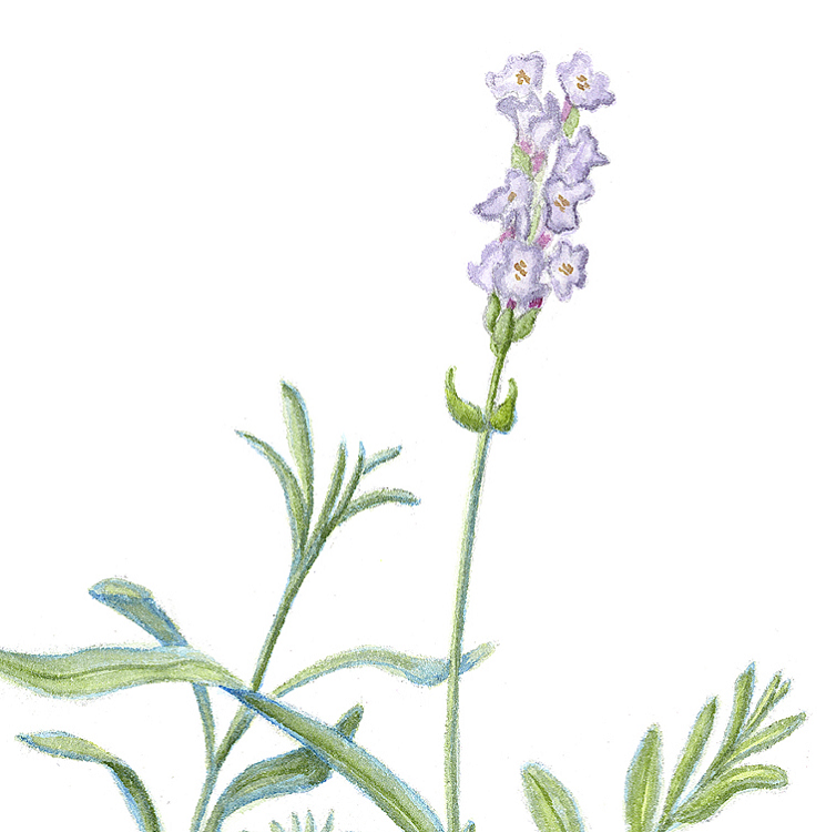 What Are The Benefits Of Lavender Oil Singing Flower Studio