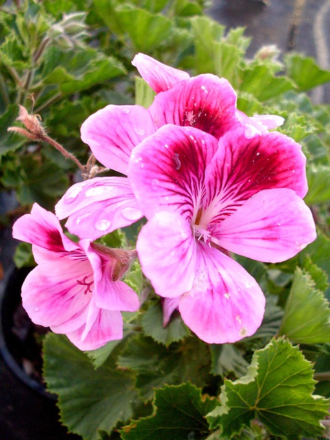 Wild Geranium and its Use in Essential Oils