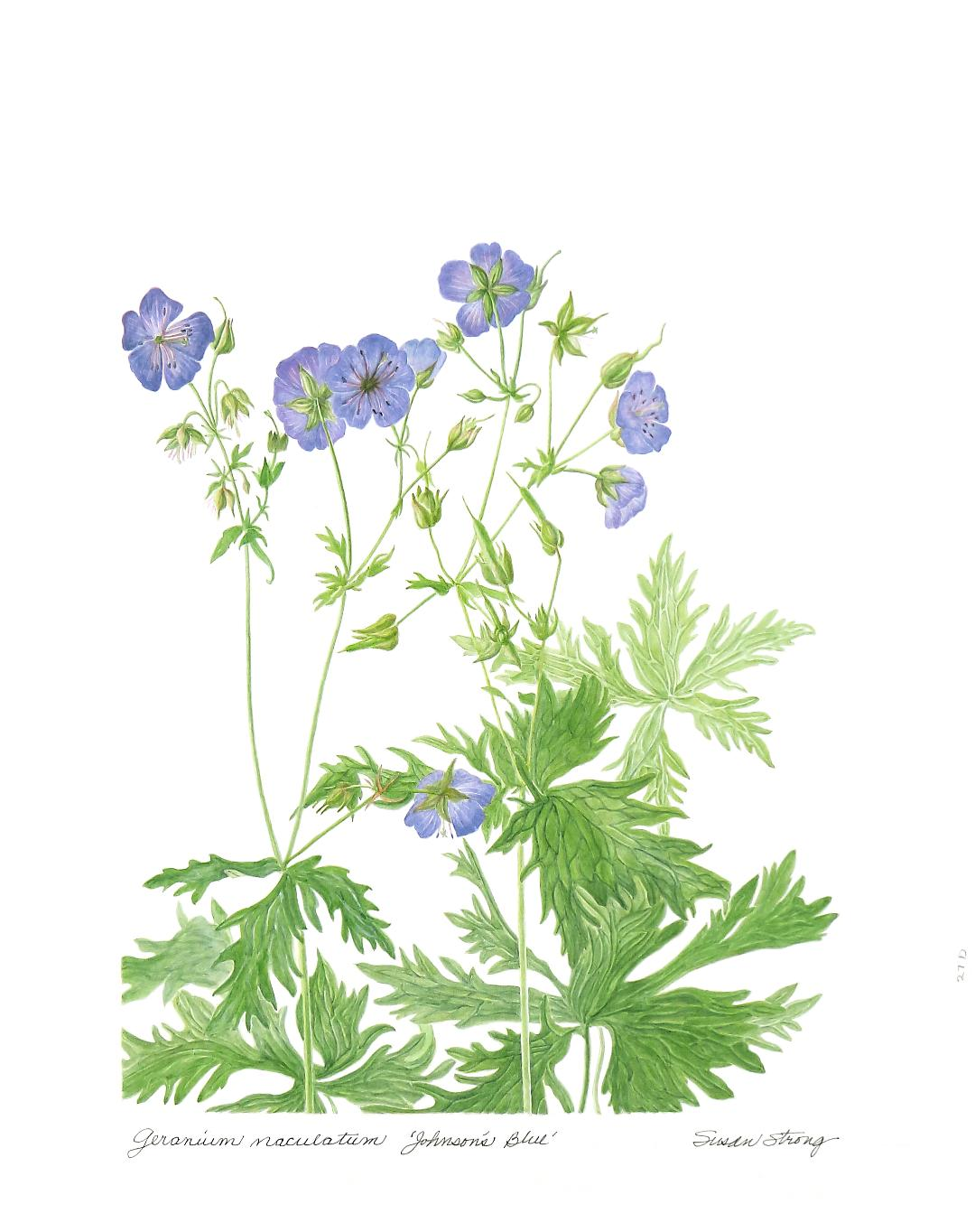 Wild Geranium, Johnson's Blue