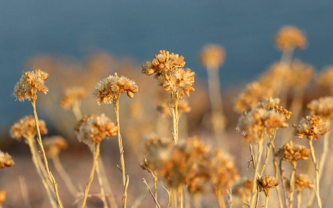 Helichrysum Essential Oil Benefits